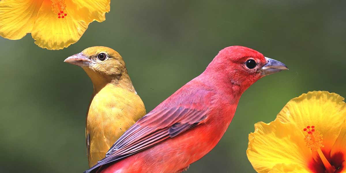 Tanager birds