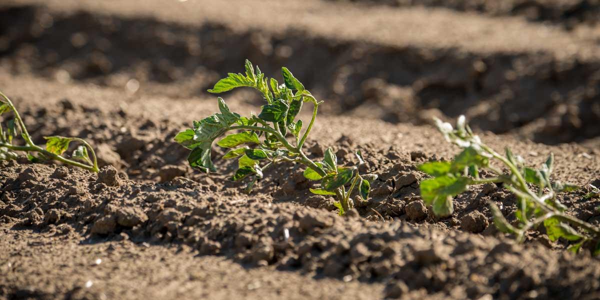 Tomato seedlings in healthy soil