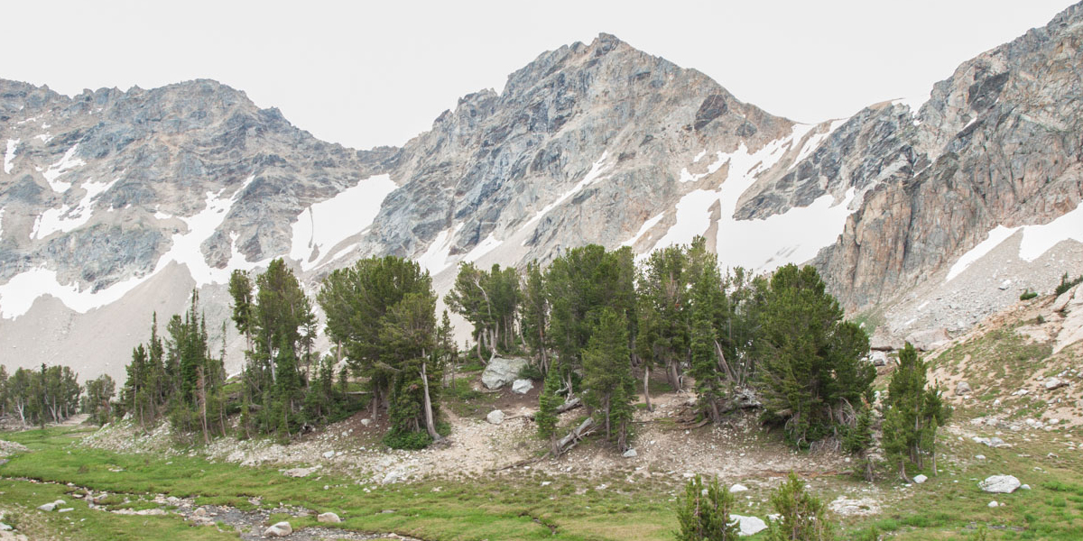 Whitebark pines and the Grand Tetons