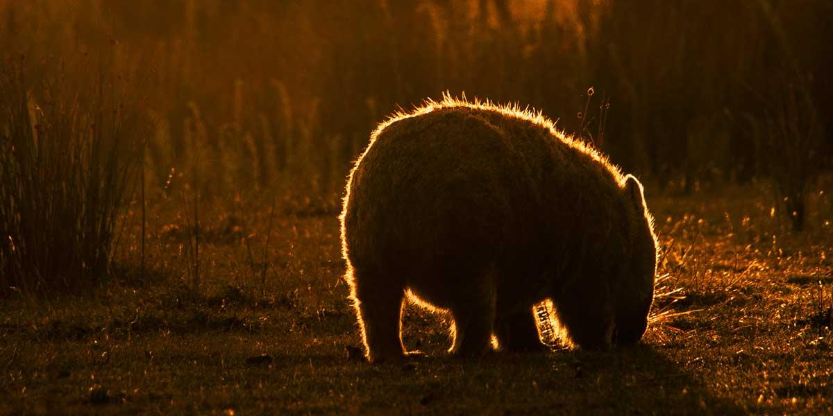 Wombat butt