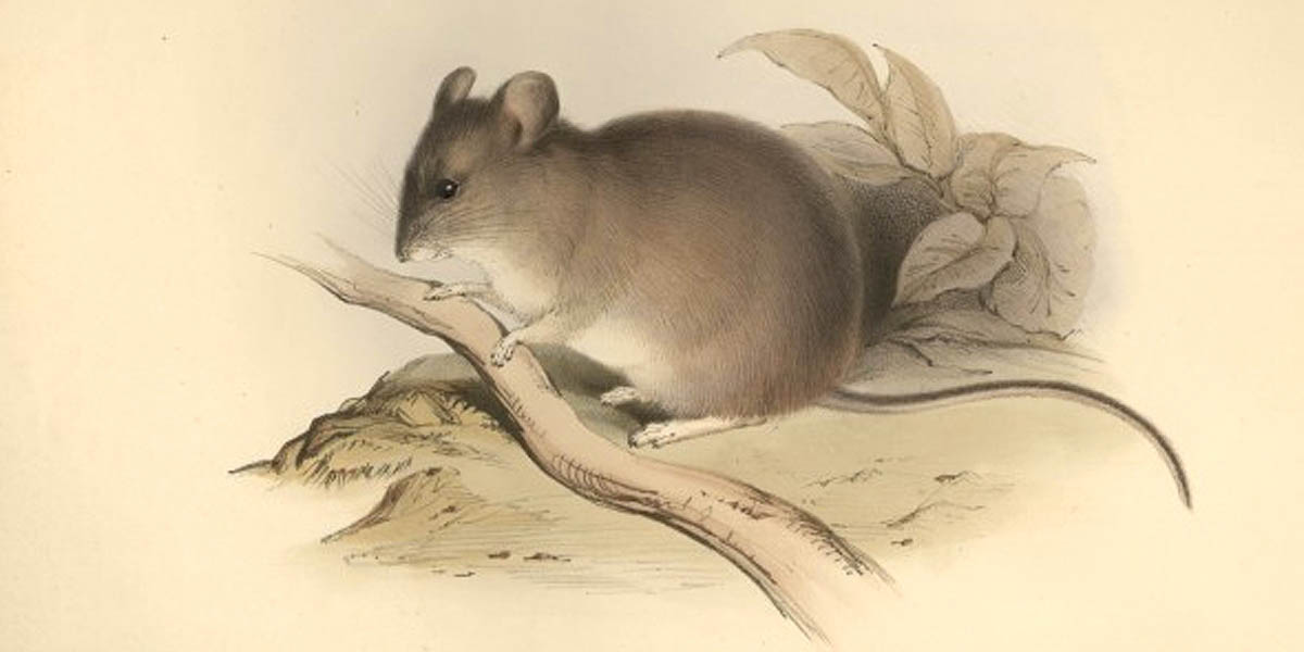 Yellow-rumped leaf-eared mouse