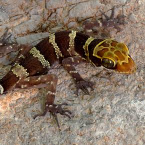 Cyrtodactylus shwetaungorum
