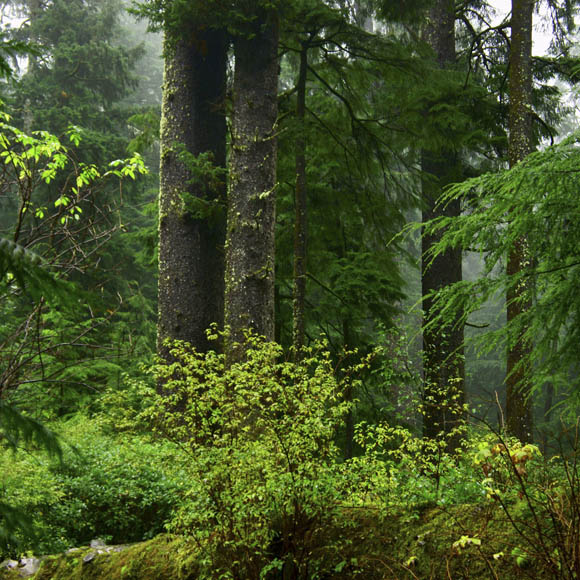 Oregon old-growth forest