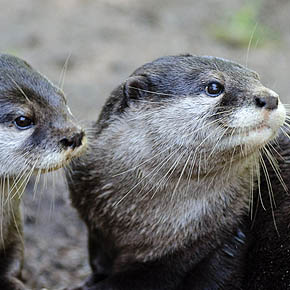 Small-clawed otters