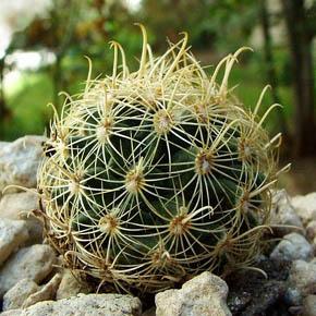 Tobusch fishhook cactus