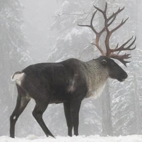 Southern Mountain caribou
