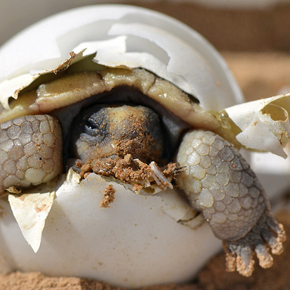 Desert tortoise hatchling