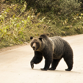 Grizzly bear in road