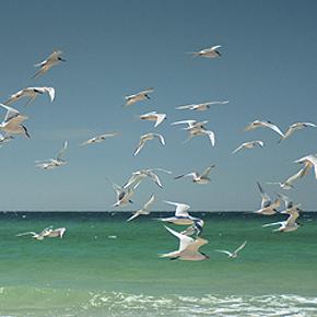 Sea birds in the Gulf of Mexico