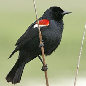 Tri-colored blackbird