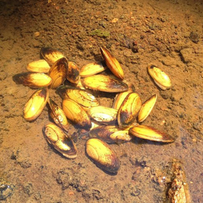 Yellow lance mussels