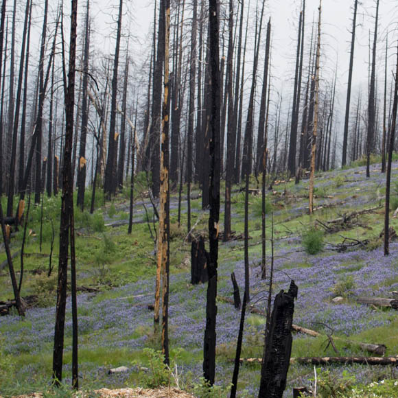 2013 Rim Fire regrowth