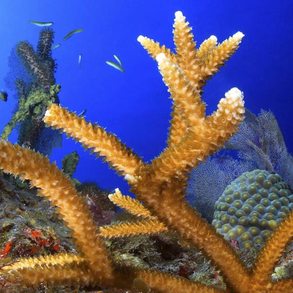 Staghorn coral