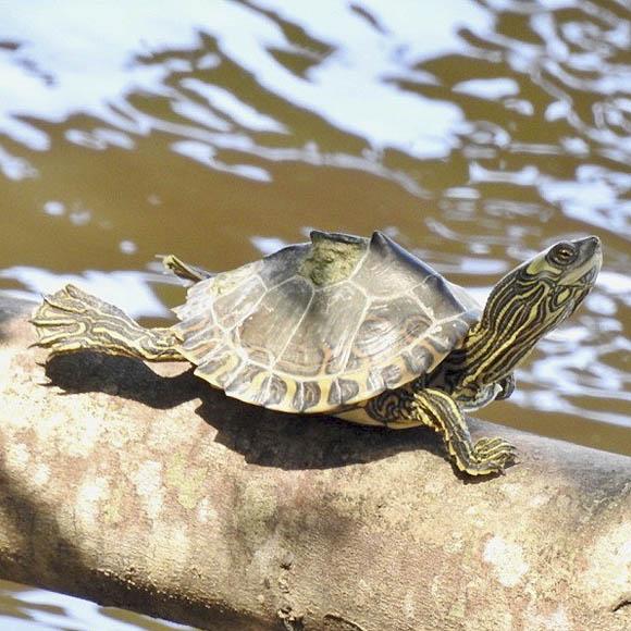 Pascagoula map turtle