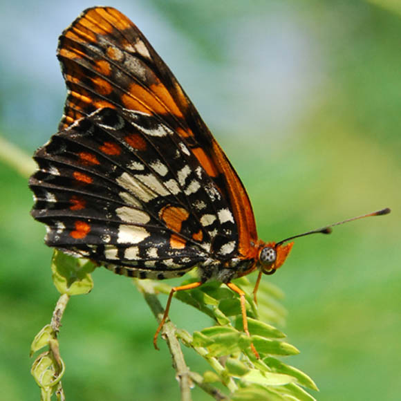 Puerto Rican harlequin butterfly