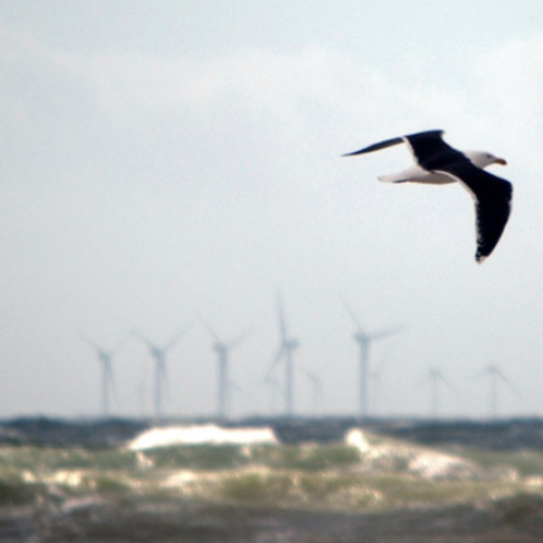 Seagull and offshore wind farm