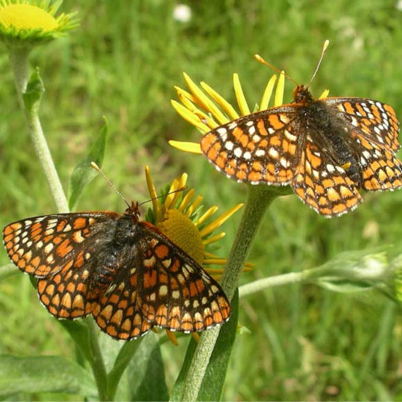 Sacramento Mountains checkerspot butterfly