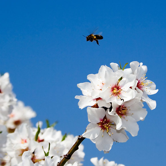 Bee pollinating almond tree