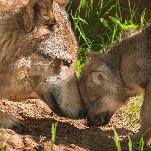Gray wolves, Shutterstock