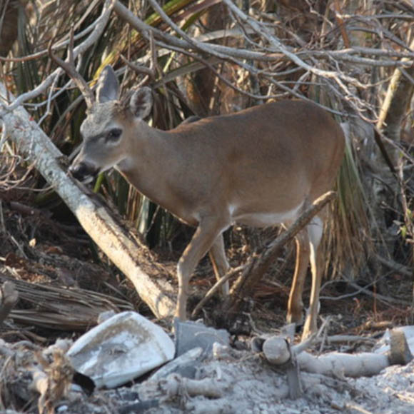 Key deer after Hurricane Irene