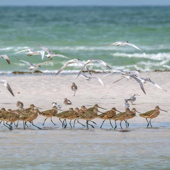 Royal terns flying over marbled godwits