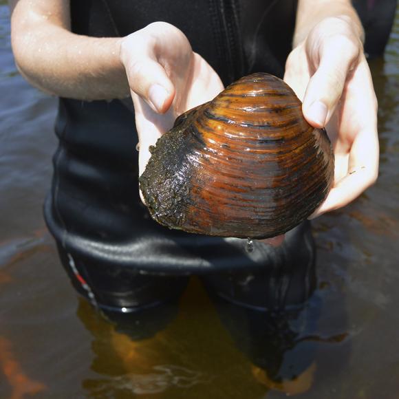 Sheepnose mussel