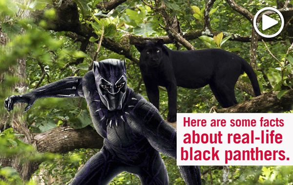 Black Panther and black panther