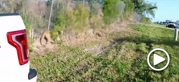 Herding a Florida panther