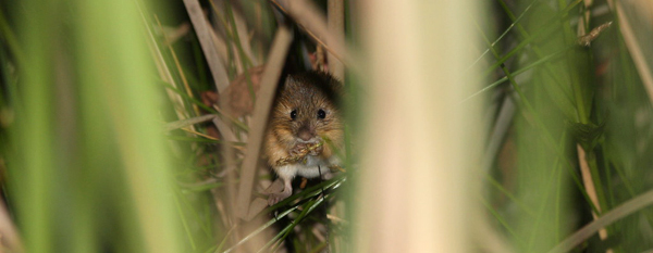 New Mexico jumping mouse