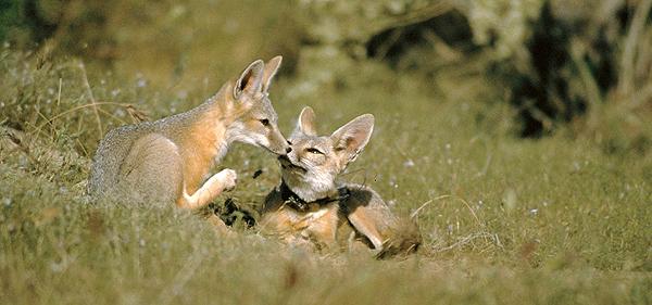 San Joaquin kit fox pups