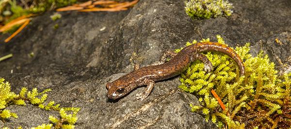 Shasta salamander