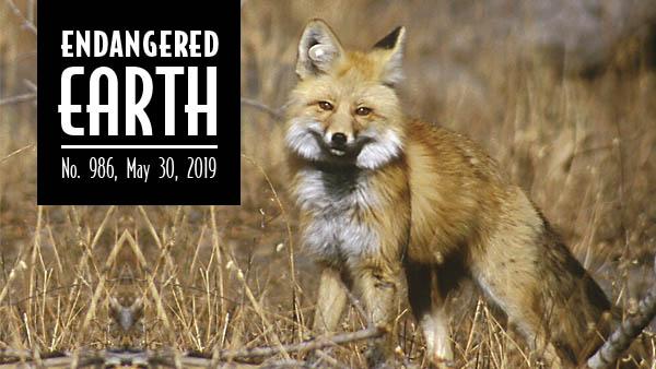 Sierra Nevada red fox