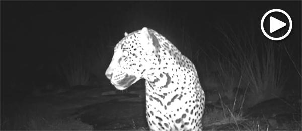 Sombra the jaguar