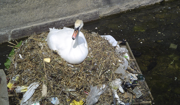 Swan in nest made partially from plastic trash