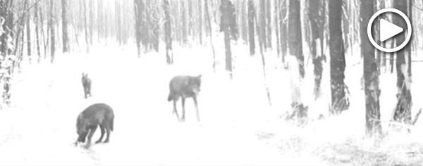 Togo wolf pack