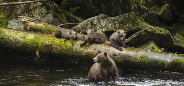 Bears at Tongass National Forest