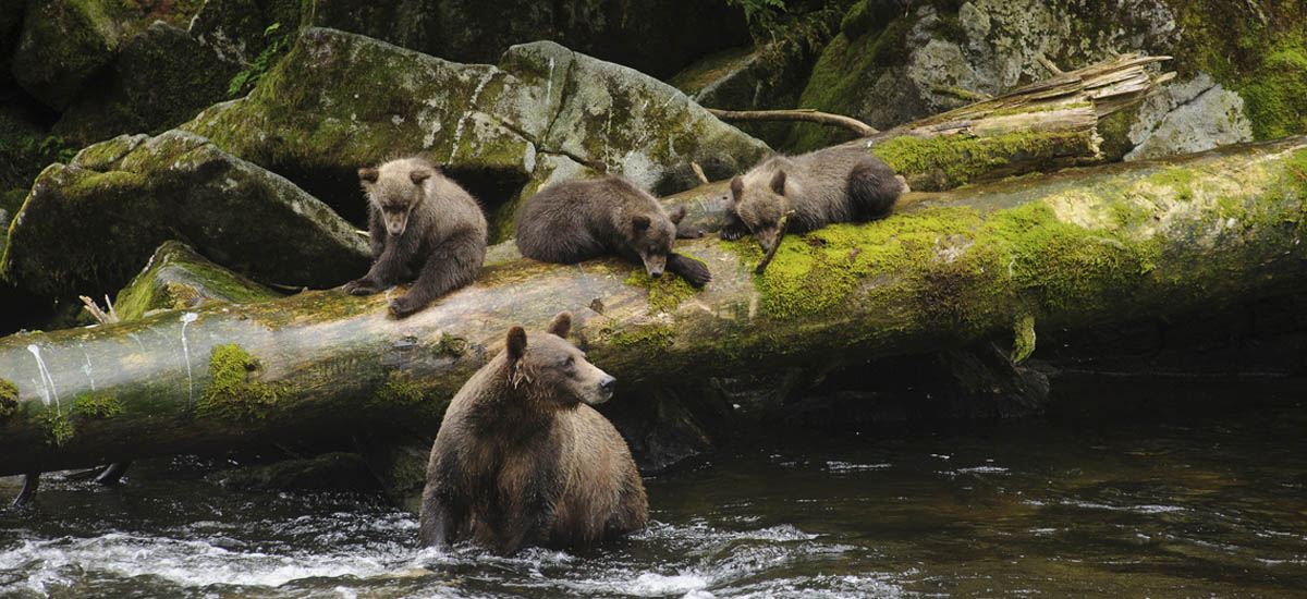 Tongass National Forest bears