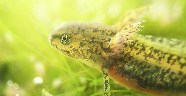 Alpine newt larva