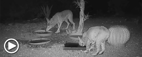 Coyote and bobcat in backyard