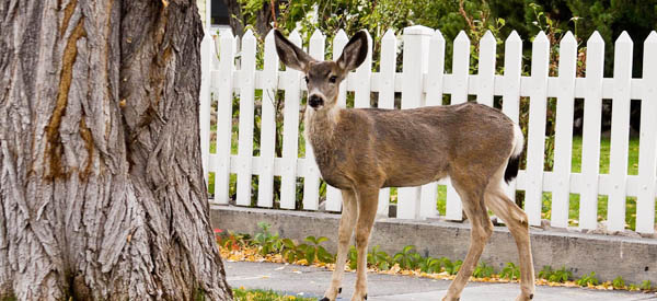 Deer in Carson City, Nev.