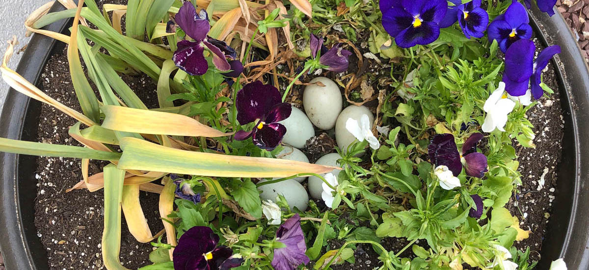 Duck nest in flower pot