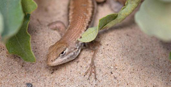 Dunes sagebrush lizard