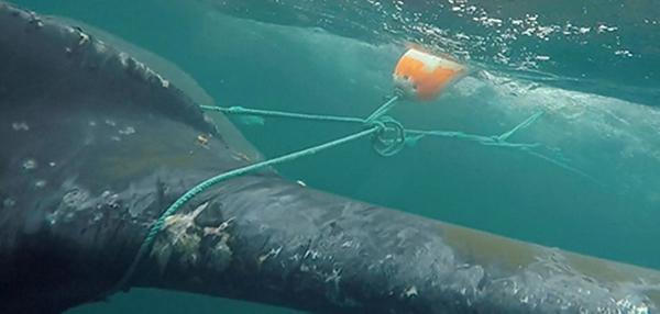 Entangled whale