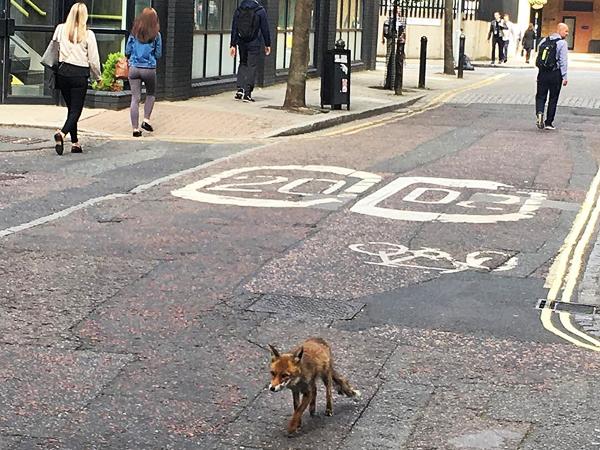 Fox in London