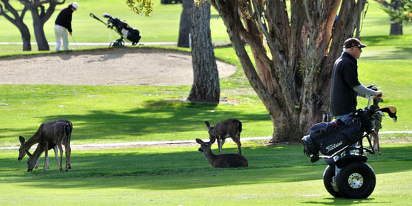 Wildlife on golf course