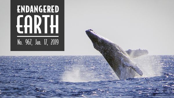 Hawaiian humpback whale