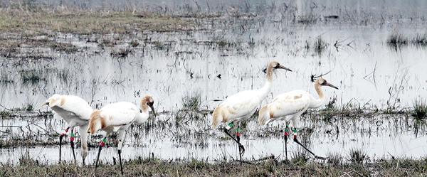 Juvenile whooping cranes at Wheeler National Wildlife Refuge Complex
