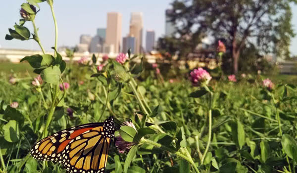 Monarch butterfly outside Minneapolis