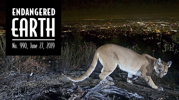 Mountain lion above Los Angeles
