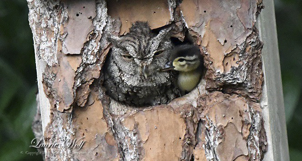 Blended family of owl and duck